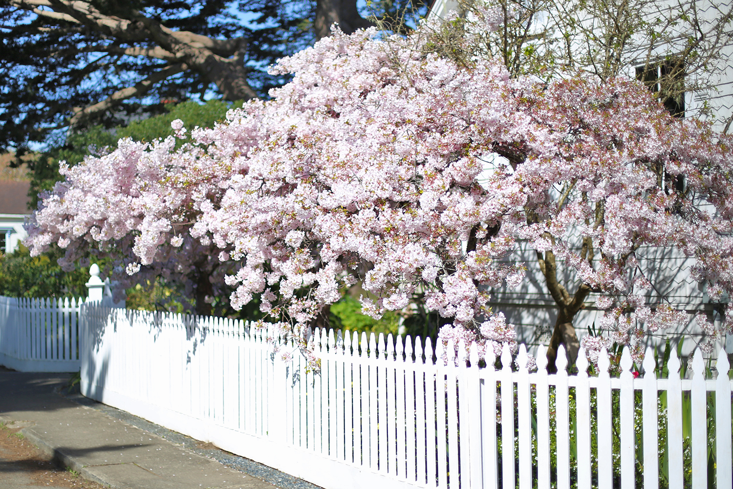 Beyond Basic Blog Mendocino Cherry Blossoms